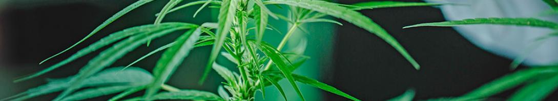 Ventajas de utilizar las mejores semillas autoflorecientes