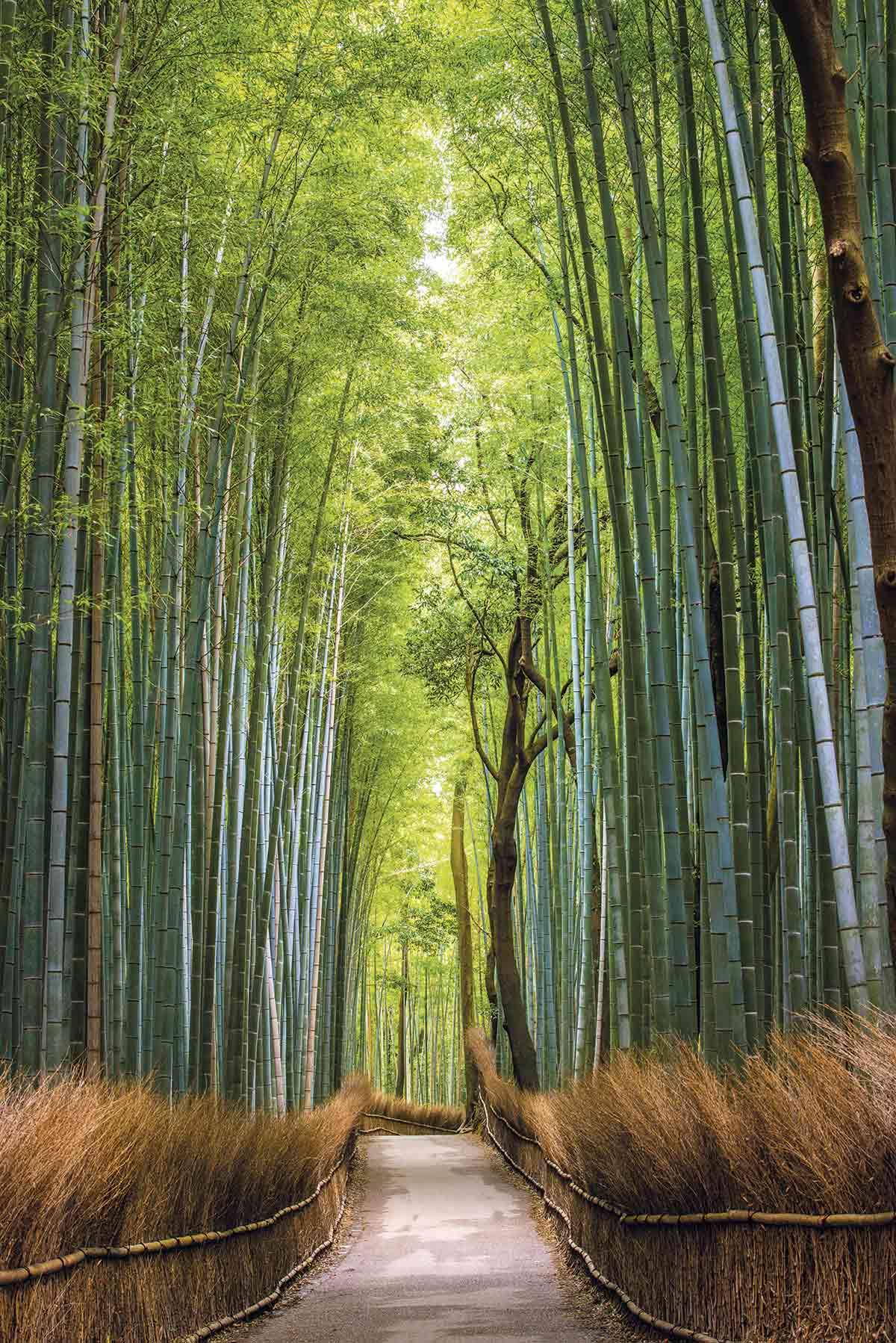 gettyimages 537084321 6914be10 - En Japón el bosque de bambú es un mágico lugar